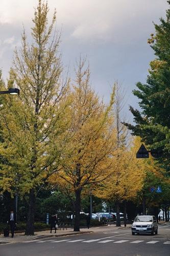 仙台 銀杏並木