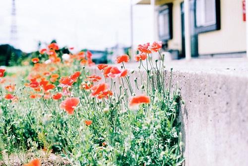 近所の花畑6