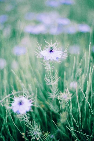 近所の花畑4