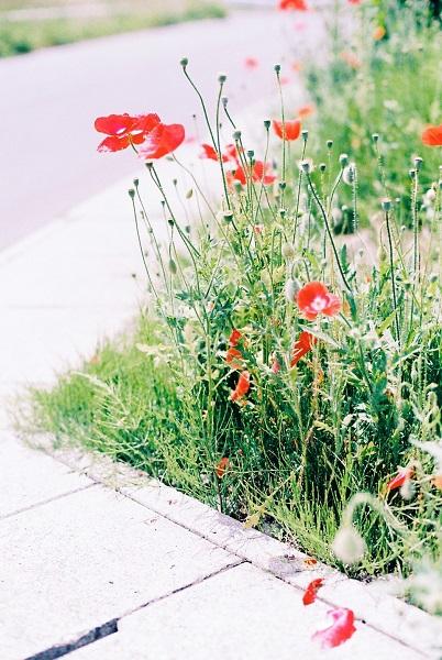 近所の花畑3