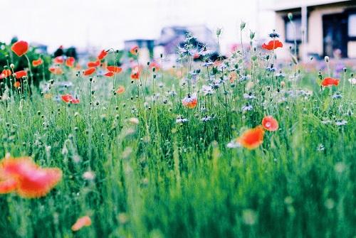 近所の花畑1