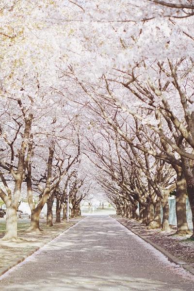 各地の桜です7